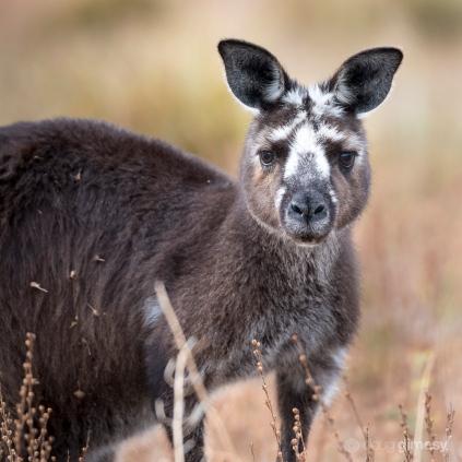 Doug gimesy kangaroo