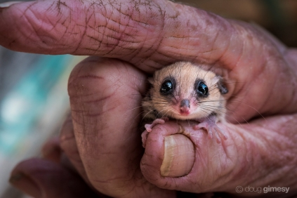 An elderly wildlife carer hold a western pygmy possum (Cercartetus concinnus) on Kangaroo Island (South Australia). There a five extant species of pygmy possum - four are endemic to Australia and one species also co-occurs in Papua New Guinea and Indonesia. This one was photographed on Kangaroo Island and numbers are good.