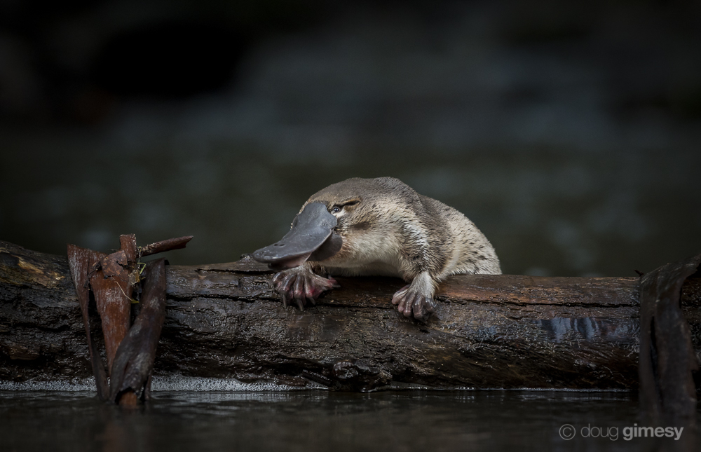 A young platypus, Ornithorynchus anatinus, on a log in a creek.